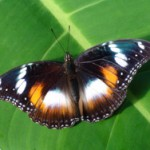 Walk Amongst Live Butterflies at Coffs Butterfly House