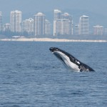 Whale Watching Gold Coast Cruise