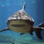 Shark Attack At Nobby Beach