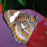 View Beautiful Live Butterflies at Coffs Butterfly House